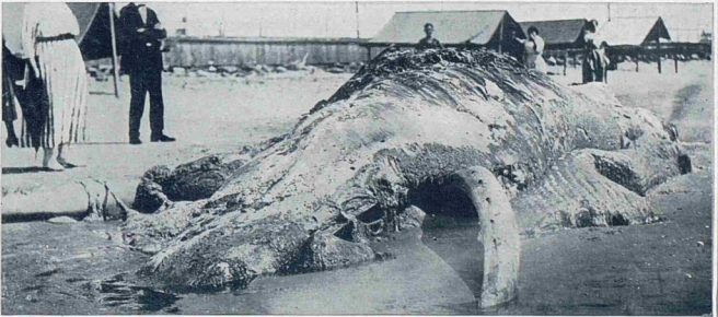 cape-may-carcass-e1519569091691 (1)